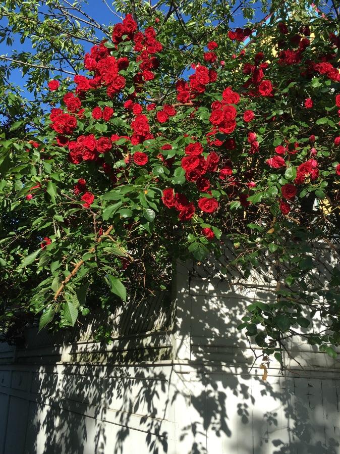 Weekend Roses